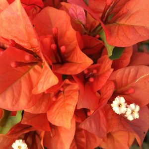 Bougainvillea Flame