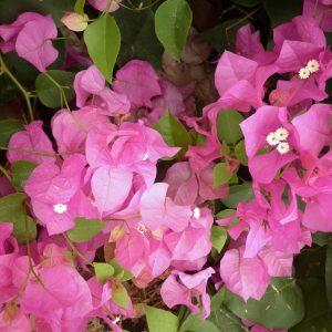 Bougainvillea Miami Pink