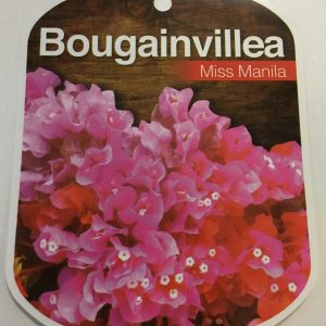Bougainvillea Miss Manila