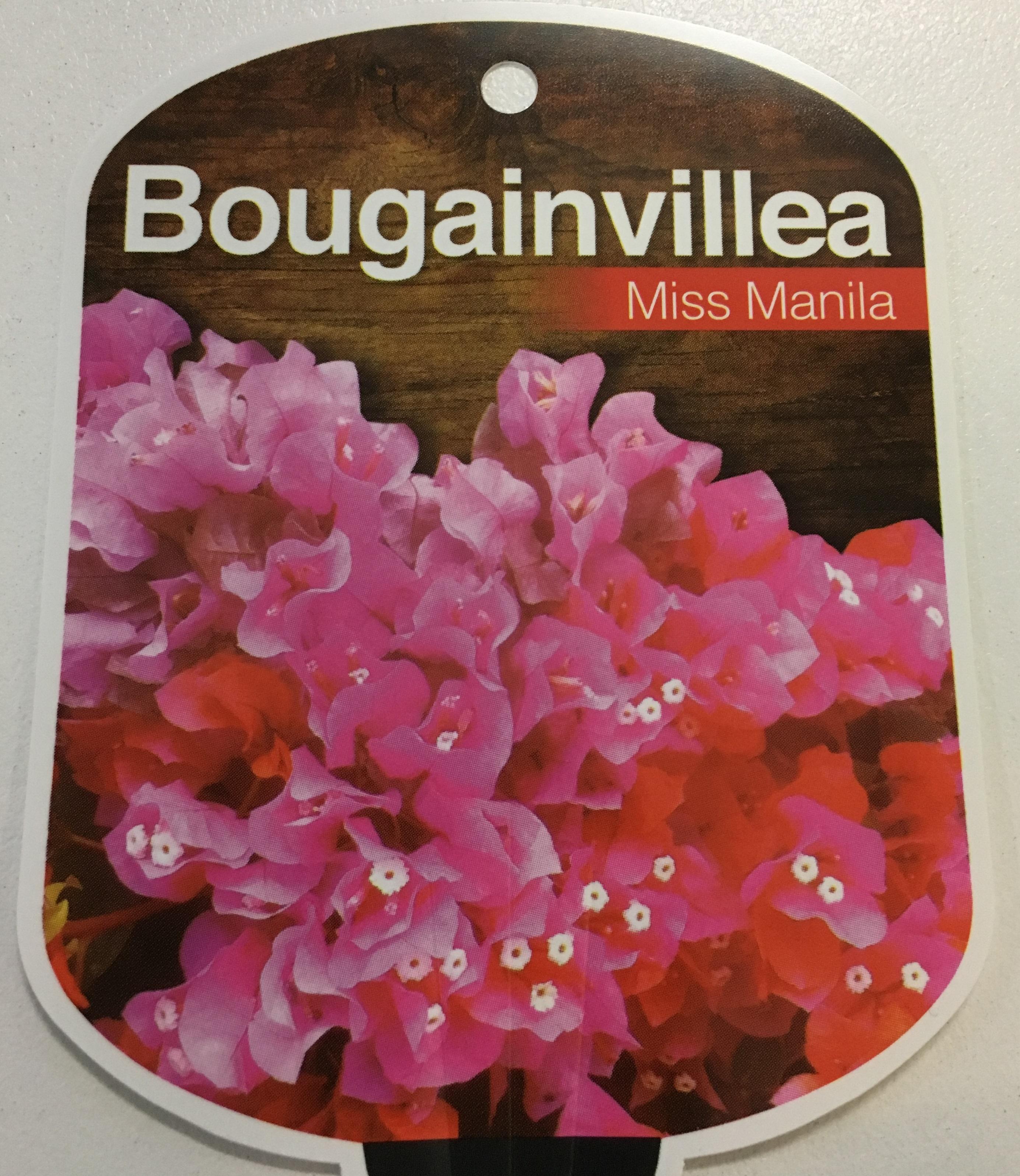 Bougainvillea X Buttiana Miss Manila 150mm Dawsons