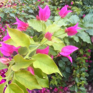 Bougainvillea Rijnstar Pink