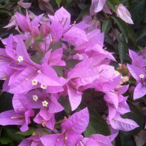 Bougainvillea Rijnstar lilac