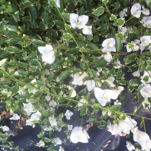 Bougainvillea White Stipe