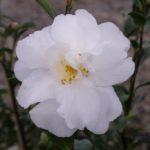 Camellia Coolgardie Star