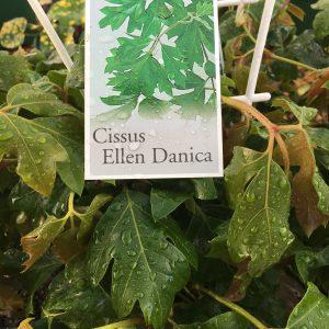 Cissus Ellen Danica.