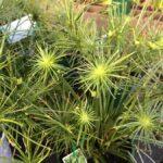 Cyperus Papyrus Nana ..
