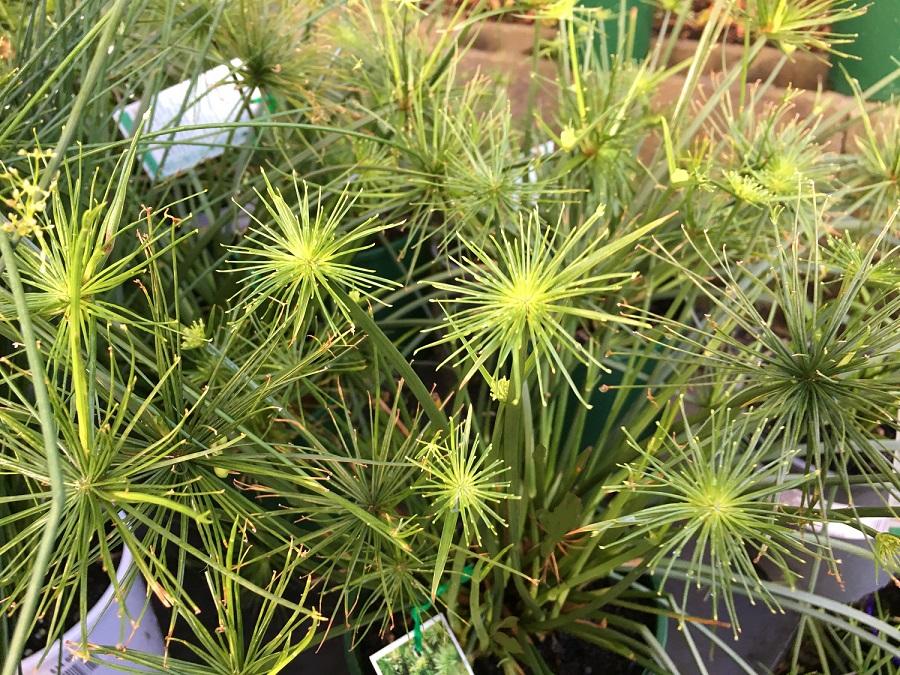cyperus prolifer papyrus nana 125mm pot dawsons garden world. Black Bedroom Furniture Sets. Home Design Ideas