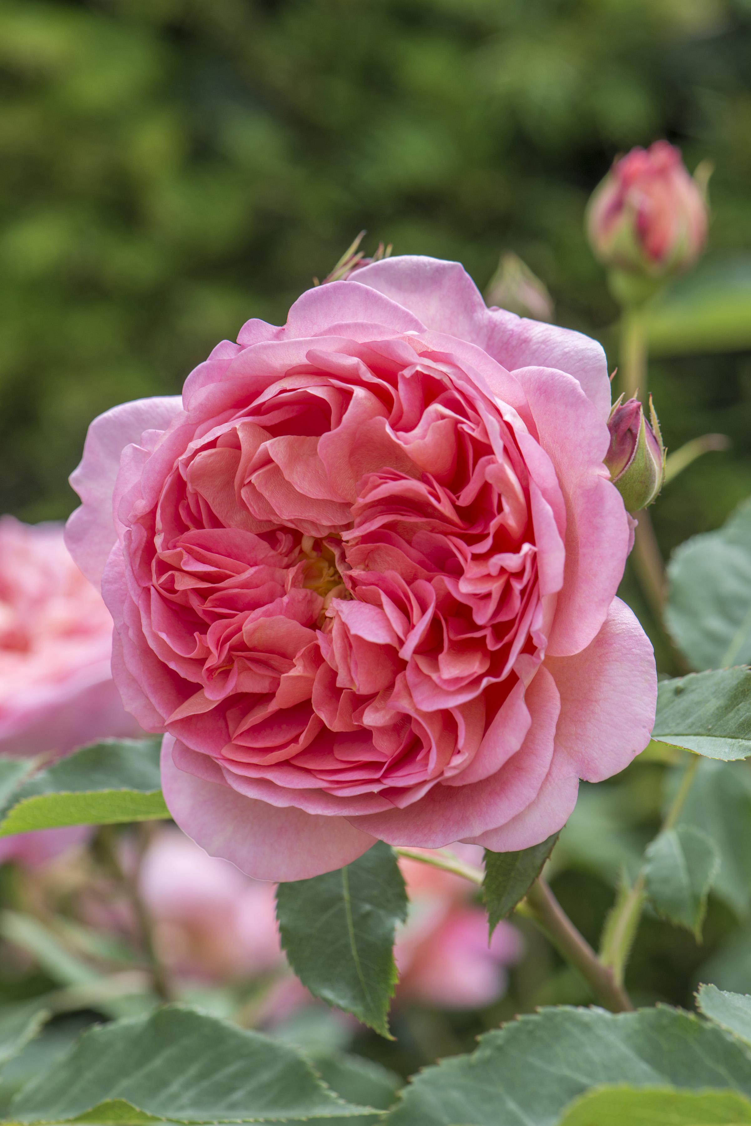 Roses In Garden: David Austin English Rose Boscobel 175mm Pot