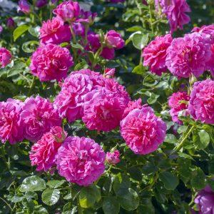 David Austin England's Rose