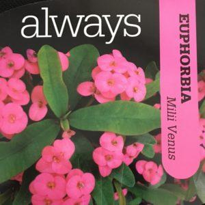Euphorbia Venus