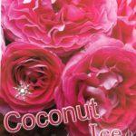 Floribunda Coconut Ice