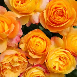 Floribunda My Yellow