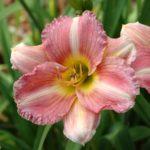 Hemerocallis Jeune Rose