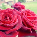 Hybrid Tea Rose Mandalay
