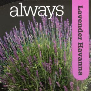 Lavender Havanna
