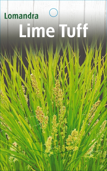 Lomandra Lime Tuff 150mm Pot Dawsons Garden World