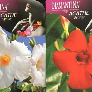 Mandevilla Agathe Mix Agathe Scarlet and White