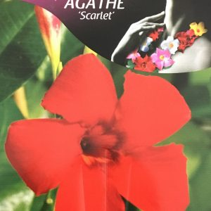 Mandevilla Agathe Scarlet