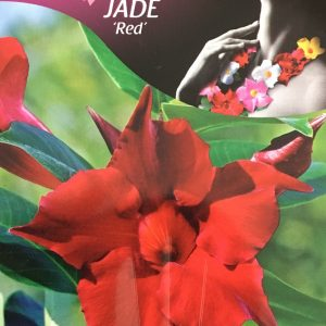 Mandevilla Jade Red