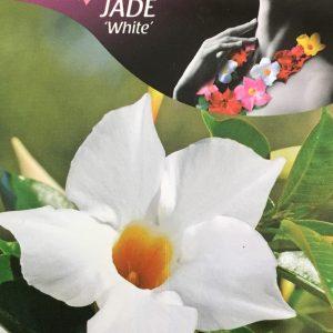 Mandevilla Jade White