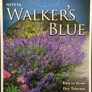 Nepeta Walkers Blue