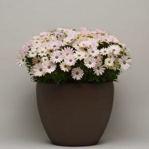 Osteospermum_Serenity_Spring_Day_Container_707