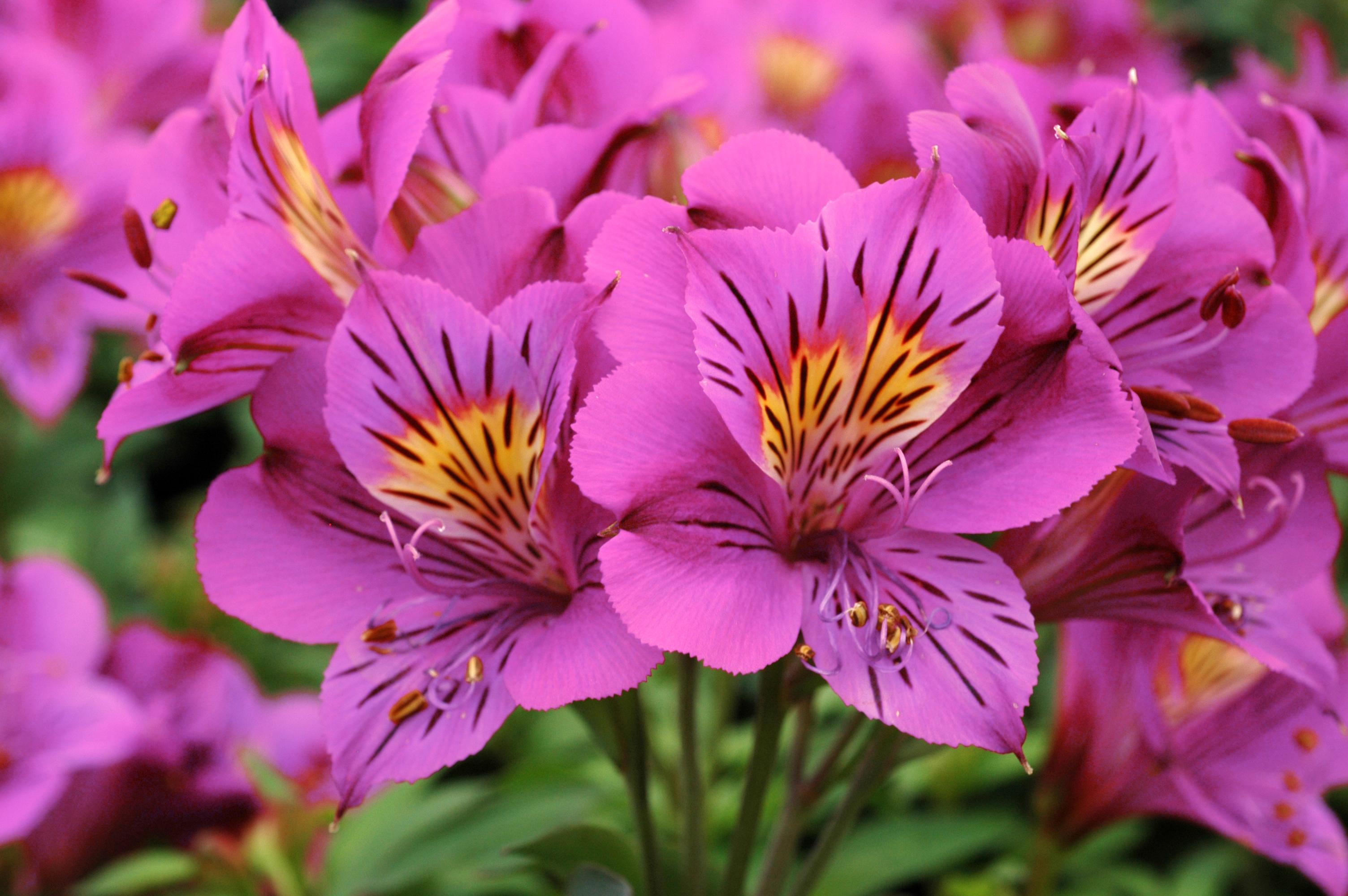 Alstroemeria Louise 175mm Pot Dawsons Garden World