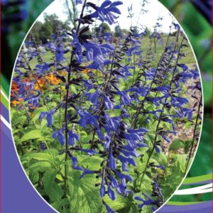 Salvia Black & Bloome