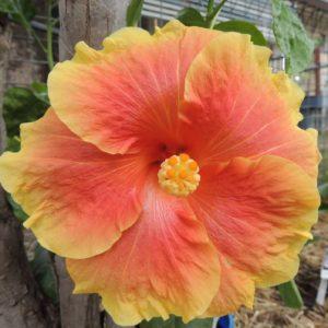 Hibiscus Bali Sunset