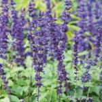 Salvia Mystic Spires