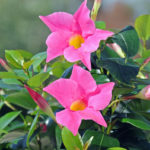 mandevilla-jade-pink