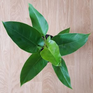 Philodendron-Imperial-Green