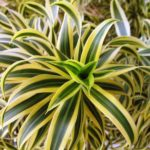 Dracaena_reflexa-Song_of_India