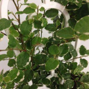 Ficus Ice Caps