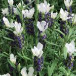 Lavender-Castillano-White