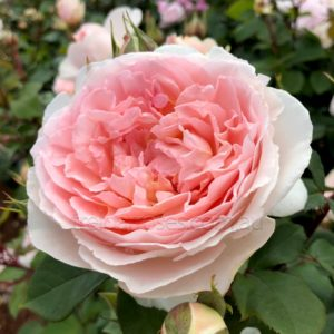 Rose Fairytale Magic