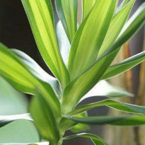 dracaena-reflexa-variegata-dragon-palm-tree-5l-1432-518x478