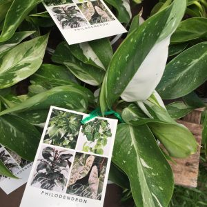 Philodendron white 1
